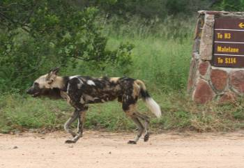 Rare African Wild Dog, on the road in Kruger