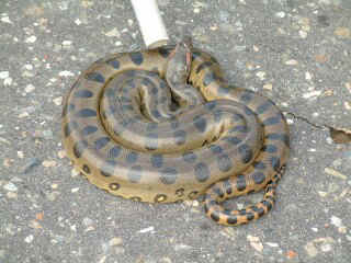 Lovely anaconda curled in the road, Los Llanos