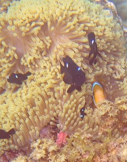 Three-spot Dascyllus and Anemone Fish live within the tentacles of the sea anemone.
