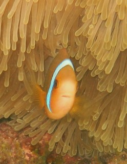 An anemone fish peers out from the protection of its anemone.