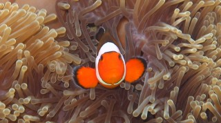 A False Clown Anemonefish in its bulb anemone