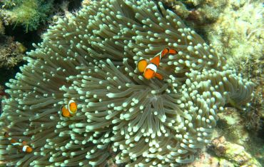 Anemone Clownfish on the reef at Twin Island, Andamans