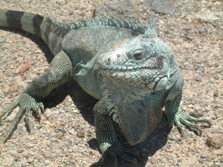 The Antillean Iguana, from Les Saintes
