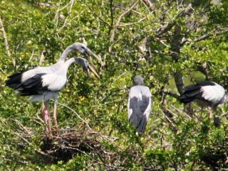 A community of nesting Asian Openbill Storks, Yala national park