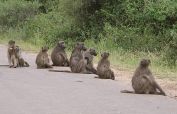 Baboons on the road, Kruger ,South Africa