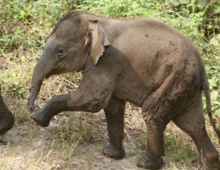 Wait for me! Baby elephant at Jaldapara Wildlife Preserve, West Bengal, India