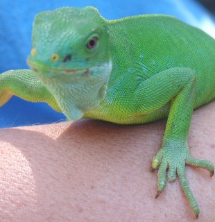 The female banded iguana is brilliant green without bands.