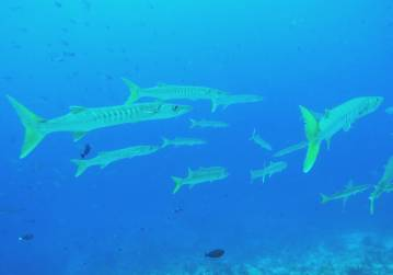 Barracuda circle lazily around divers at Cape Kri
