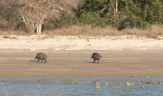 Wild boars on the beach of Komodo Island