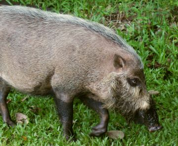Borneo's bearded pig. Need a shave, mate?