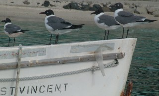 Laughing Gulls in Bequia