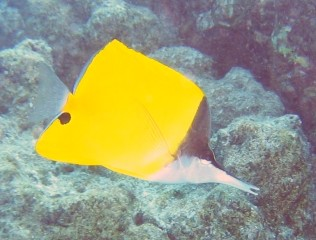 The Yellow-Bodied Snout-Fish