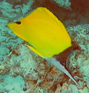 Big Longnose Butterfly fish with longer, and closed snout
