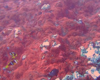 One huge red anemone colony with attendant anemonefish