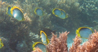 A school of Black-baked Butterflyfish off Komodo Island