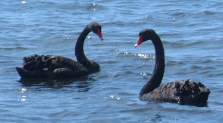 A pair of Black Swans in NSW