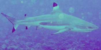 Blacktipped Reef sharks abound in the passes