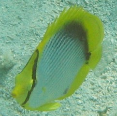 Black-backed Butterflyfish (New Caledonia)