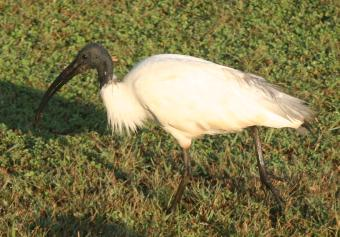 Black-headed Ibis, Yala National Park