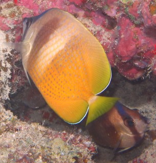 Two Black-Lip Butterflyfishes on the reef in Fiji