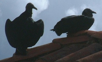 Black Vultures on rooftop, Los Nevados