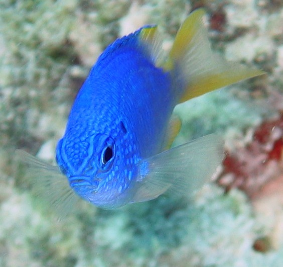 Blue Damsel Fish With An Attitude