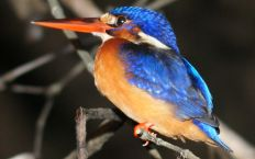 Blue Eared Kingfisher in the Borneo mangroves