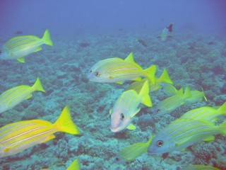 A school of Blue-Striped Snapper off the coast of Moorea