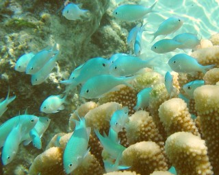 Blue-Green Chromis swarming around a favorite coral