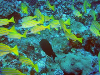 BlueLined Snappers in a school with a surgeonfish