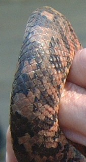 The scales of the Fijian boa.