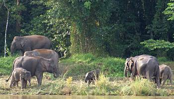 Africa? No! Pygmy Asian Elephants on the river.