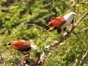 Brahminy Kites in the trees in Yala National Park