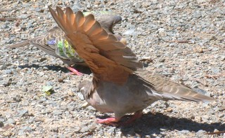 Common bronze-winged doves