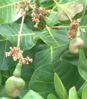 Cashew nut fruits