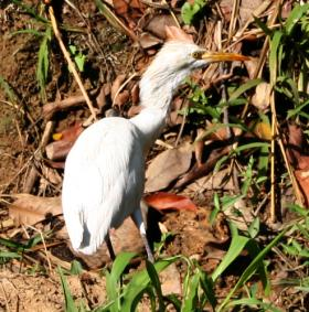 Cattle Egret by the side of the road, Sri Lanka hill country.