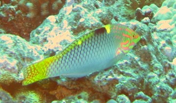 Checkerboard Wrasse, intermediate phase