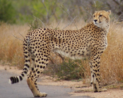 A cheetah watches his flank after crossing the road. Kruger NP S Africa