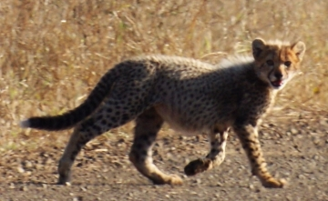 A cheetah cub crosses our road. Kruger Park