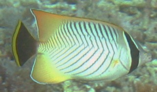 The Chevroned butterflyfish is aptly named