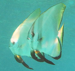 Circular spadefish lived under Ocelot