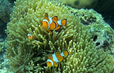 Clown fish guarding their Magnificent Anemone