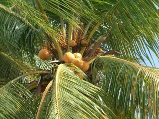 Looking high into a coconut palm