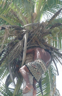 Ziggie, a native Fijian, climbs a tall coconut tree at Robinson Crusoe Island