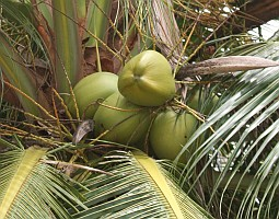 Coconuts have many uses in the tropics.