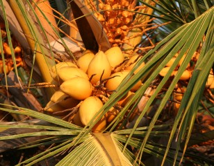 Unripe coconuts in a cluster in the palm