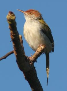 The Common Tailorbird on a branch in Kandy.