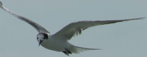 Single common Tern, in flight, off Malaysia