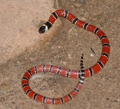 A baby coral snake that slithered into our rafting camp one night.