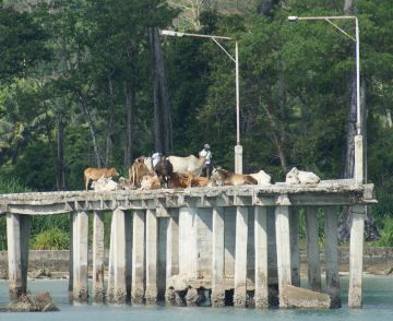 Sacred cows on the dock, Hut Bay, Little Andaman